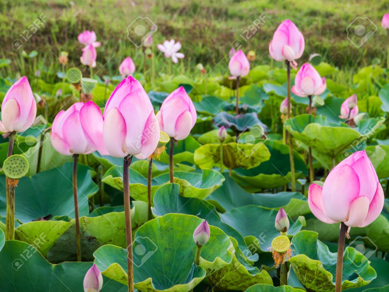 Lotus Pond Or Water Lily Pond With Pink Lotus Flowers And Its
