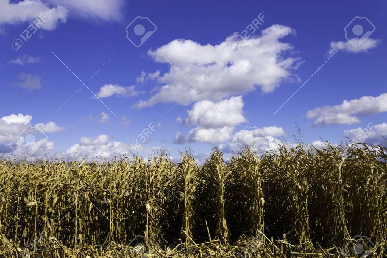 Corn field during harvest Stock Photo - 17477542