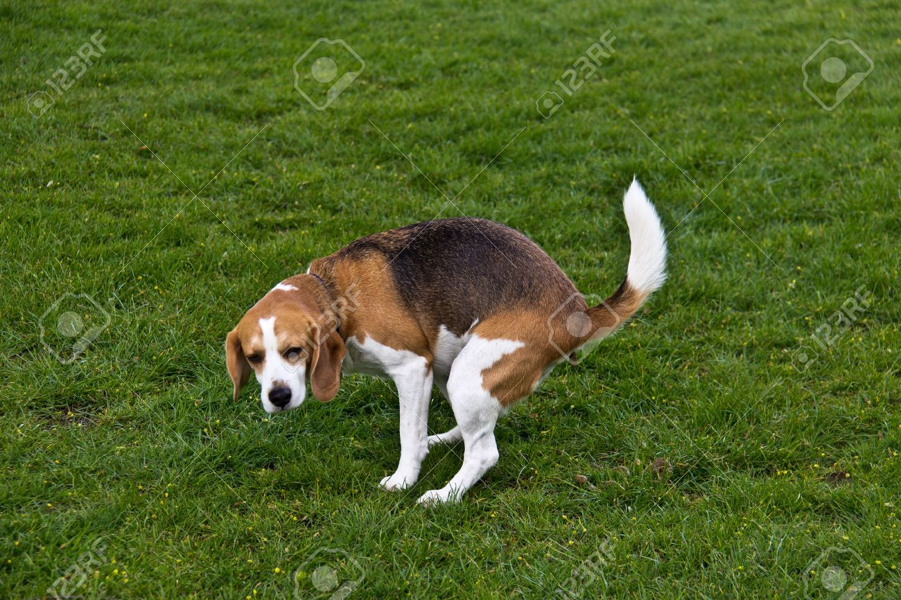 Dog defecating on the green grass Stock Photo - 46081116