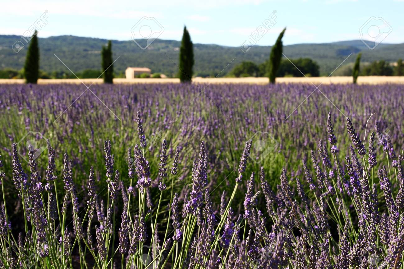 Lavendal field in Provence, France (Shallow DOF) Stock Photo - 7275708