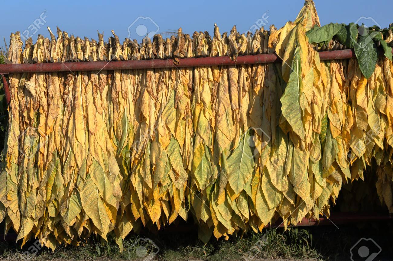 Mature newly harvested tobacco hanging outside in a trailer on a Southern Ontario farm - 87915717