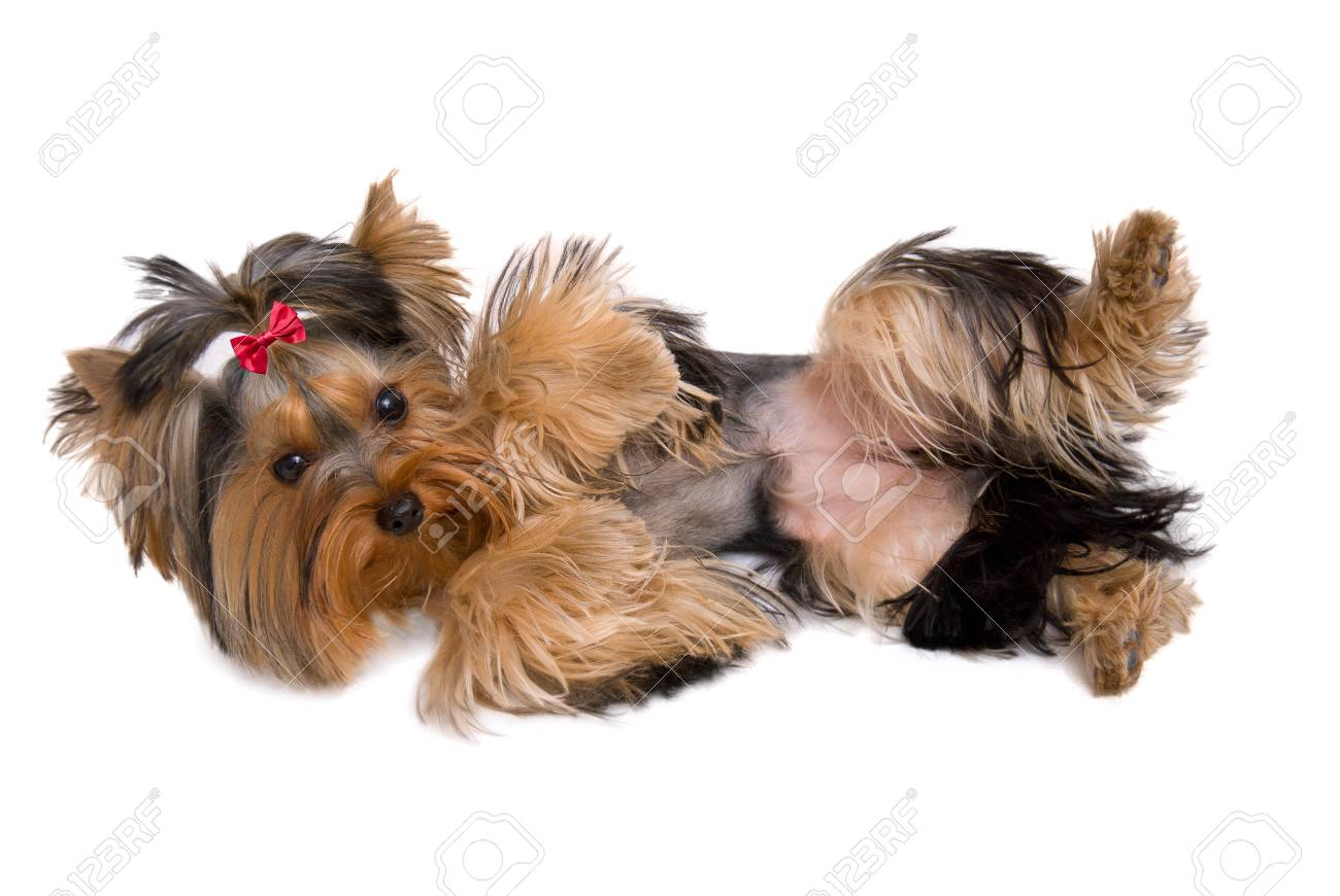 Cute Yorkie Playing Dead Isolated On White Stock Photo Picture