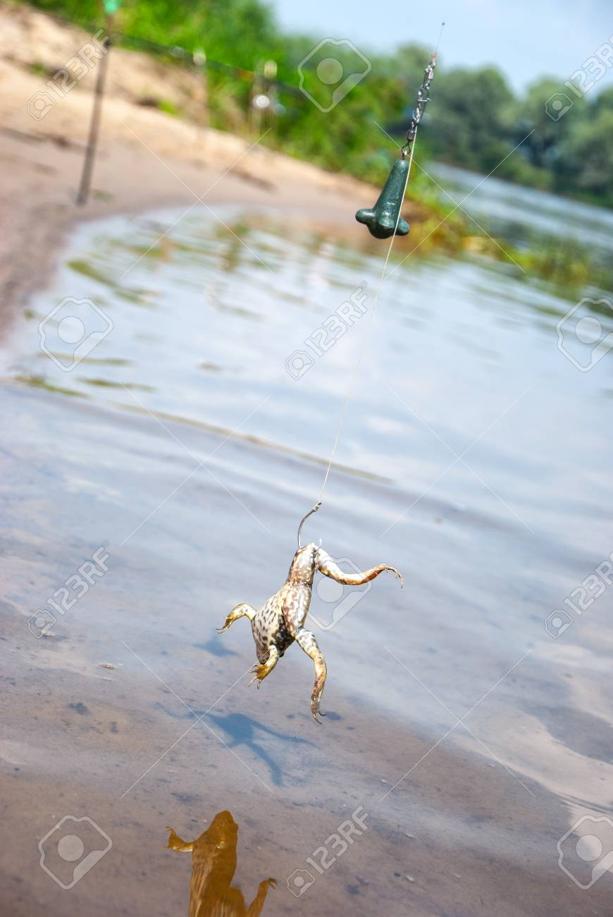 Fishing  Bait for cat-fish - frog on hook on the river