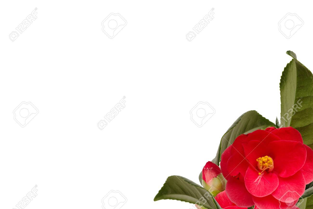 Camelia collage on the right bottom with white background Stock Photo - 18305220