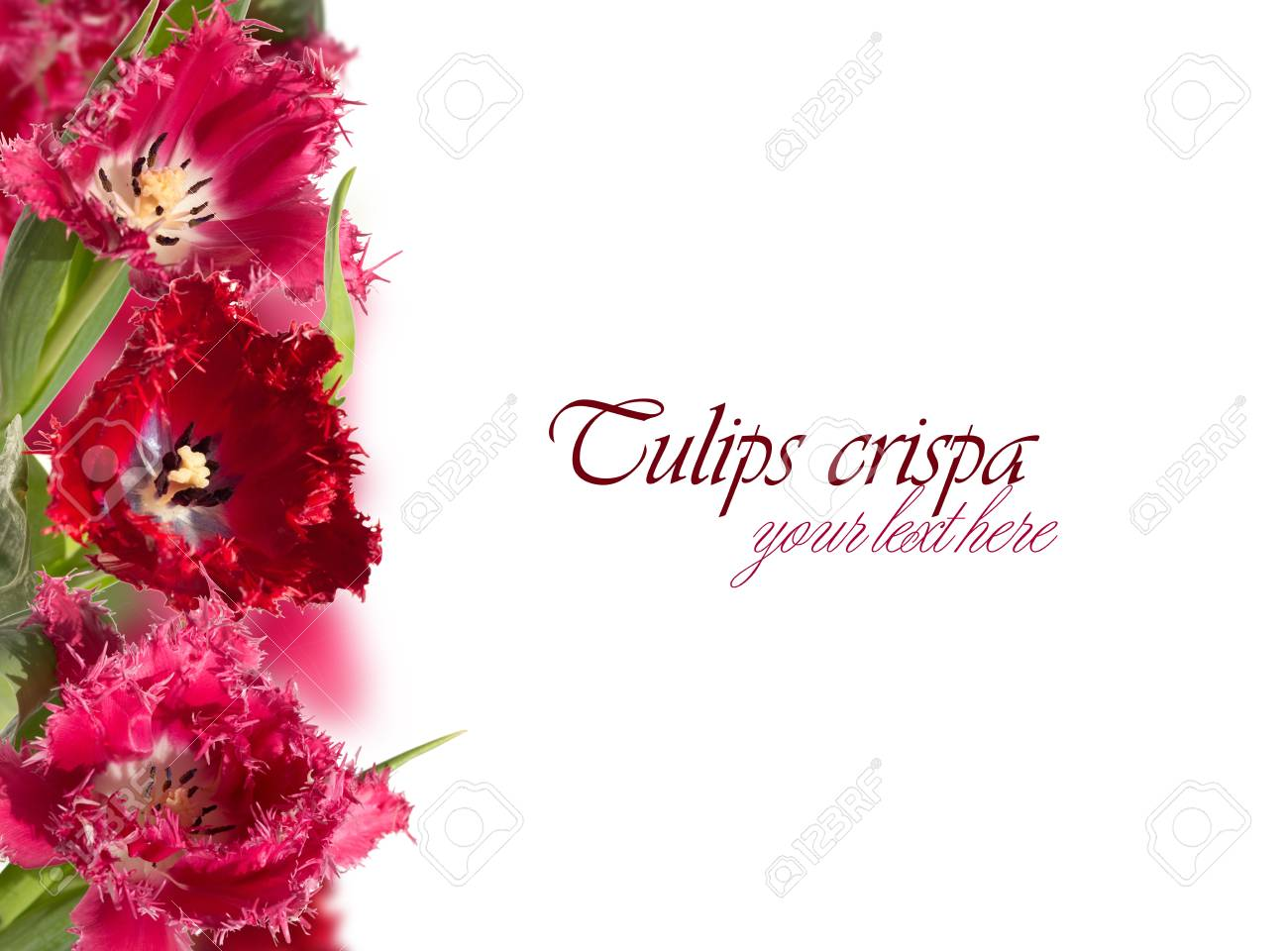 Fringed pink and red tulips (crispa) collage on the left side Stock Photo - 18363607