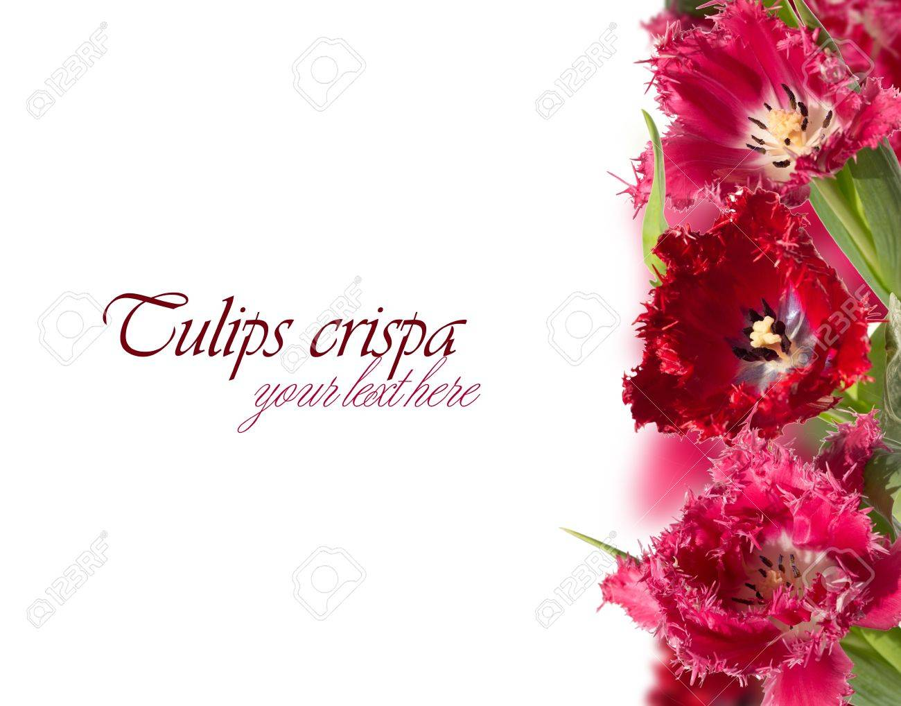 Fringed pink and red tulips (crispa) collage on the right side Stock Photo - 18363606