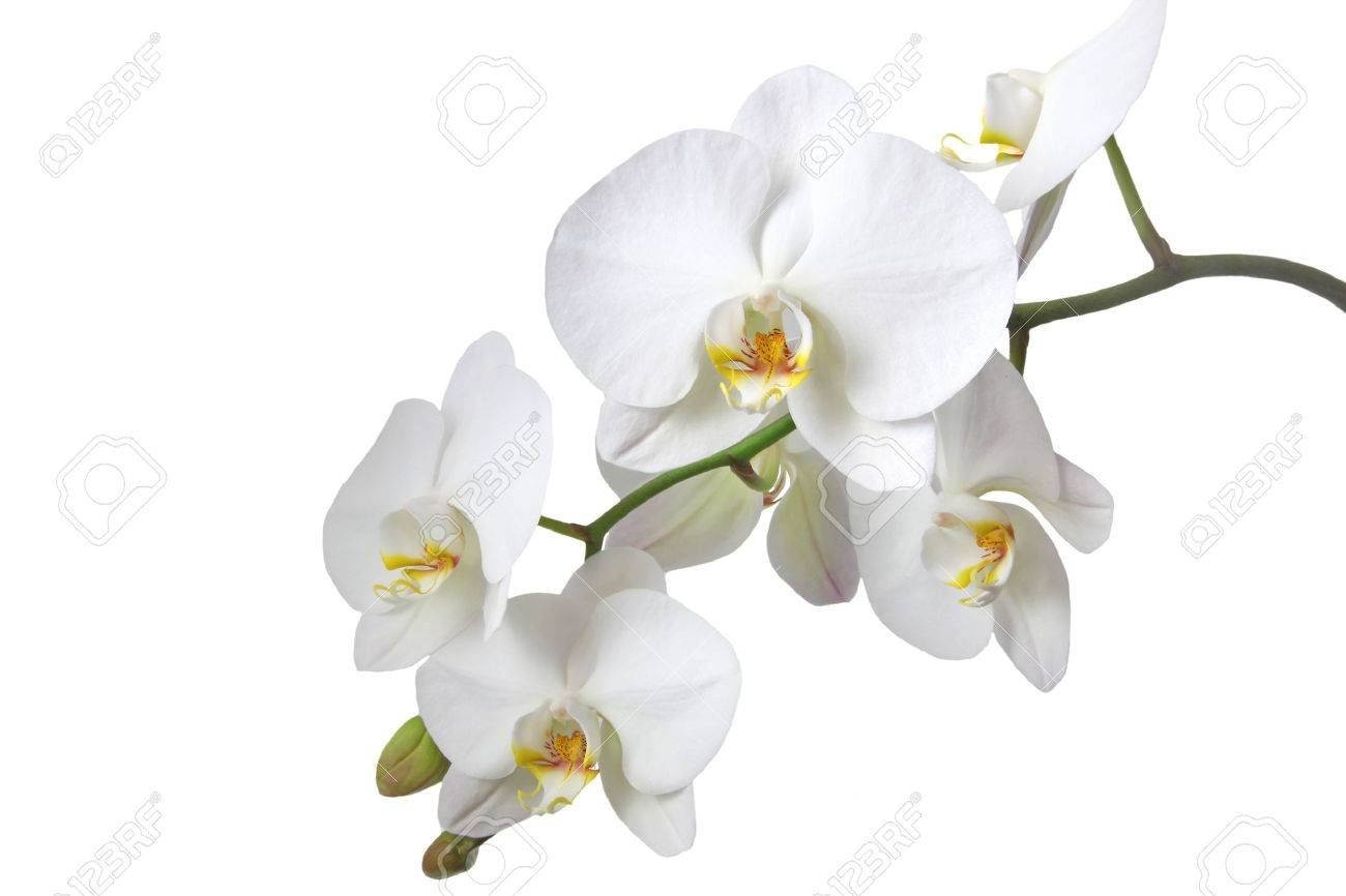 A tender white orchid. All isolated on white background. Stock Photo - 6578508