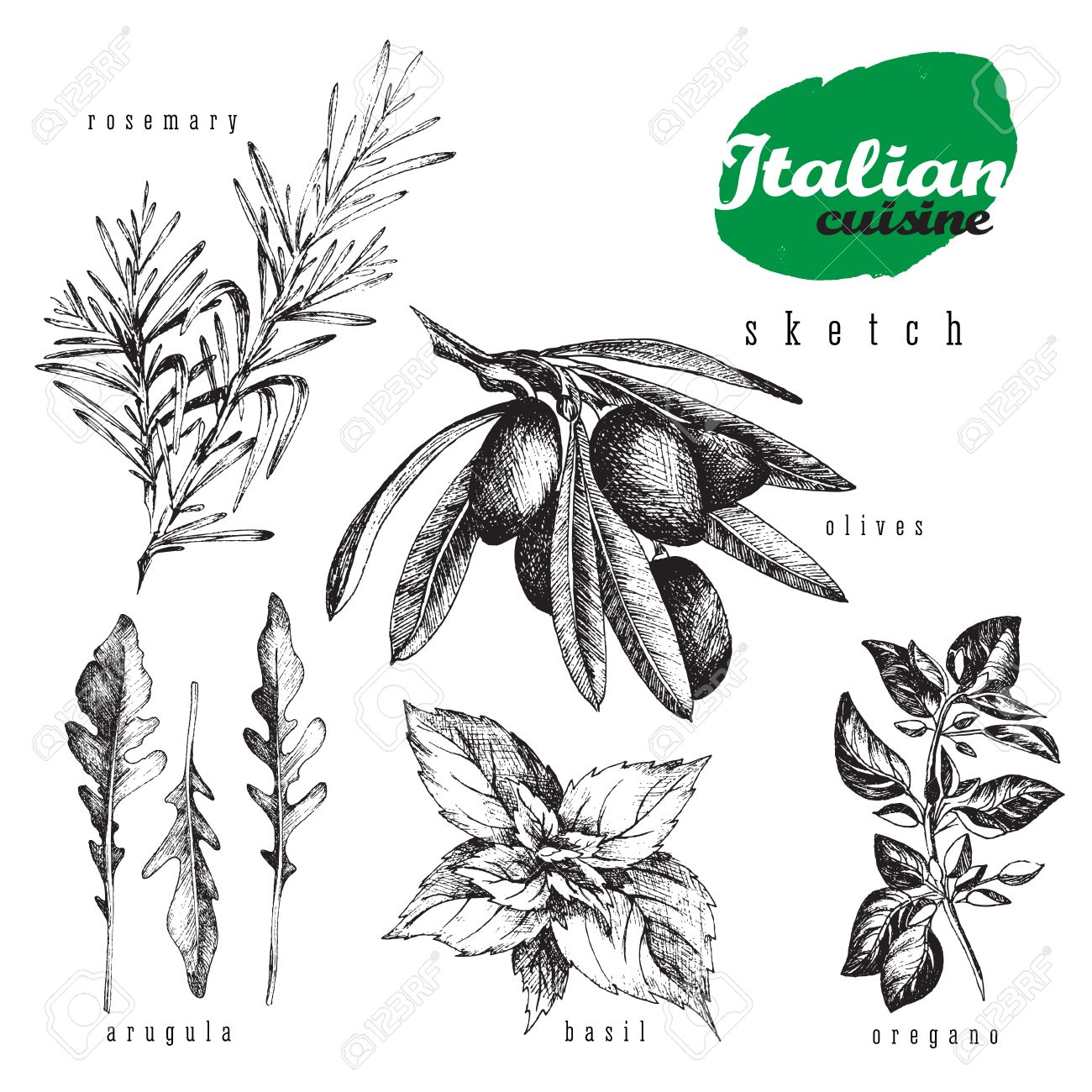 Italian cuisine herbs and plants vector isolated element set. Rosemary, oregano, olives, basil and arugula realistic sketch hand drawn style for food and kitchen or organic design. - 60988012