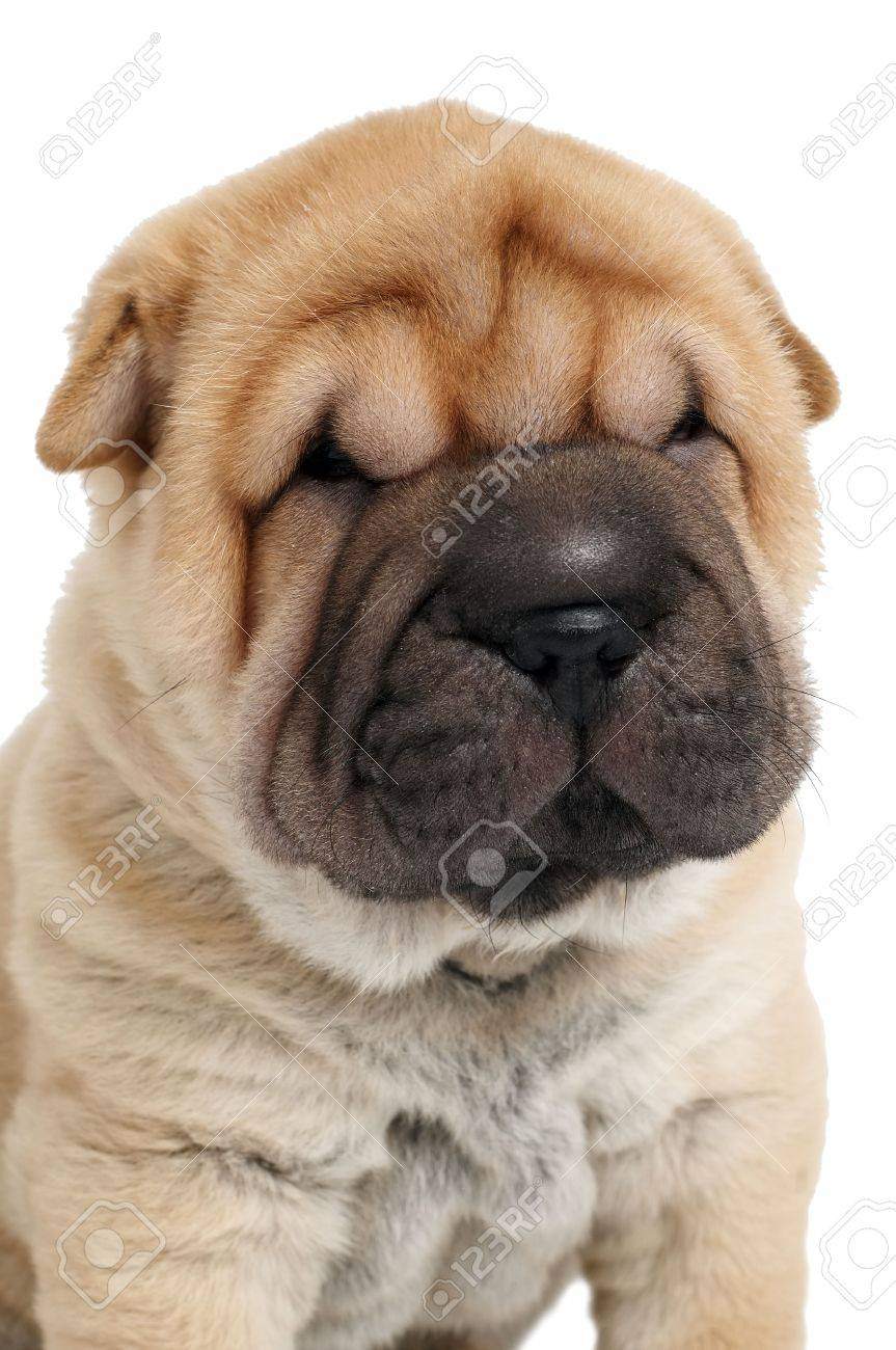 White Shar Pei Dog Puppy