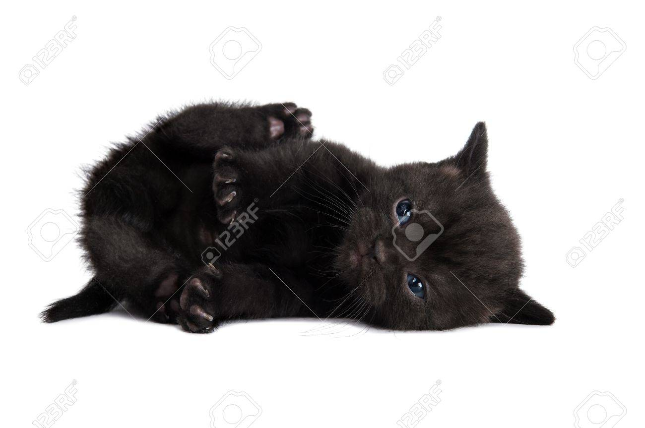One lying black british shorthair kitten cat isolated