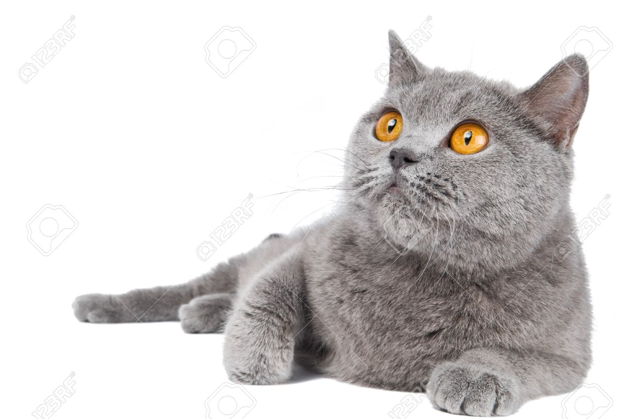 British Shorthair Grey Cat With Big Wide Open Orange Eyes Isolated