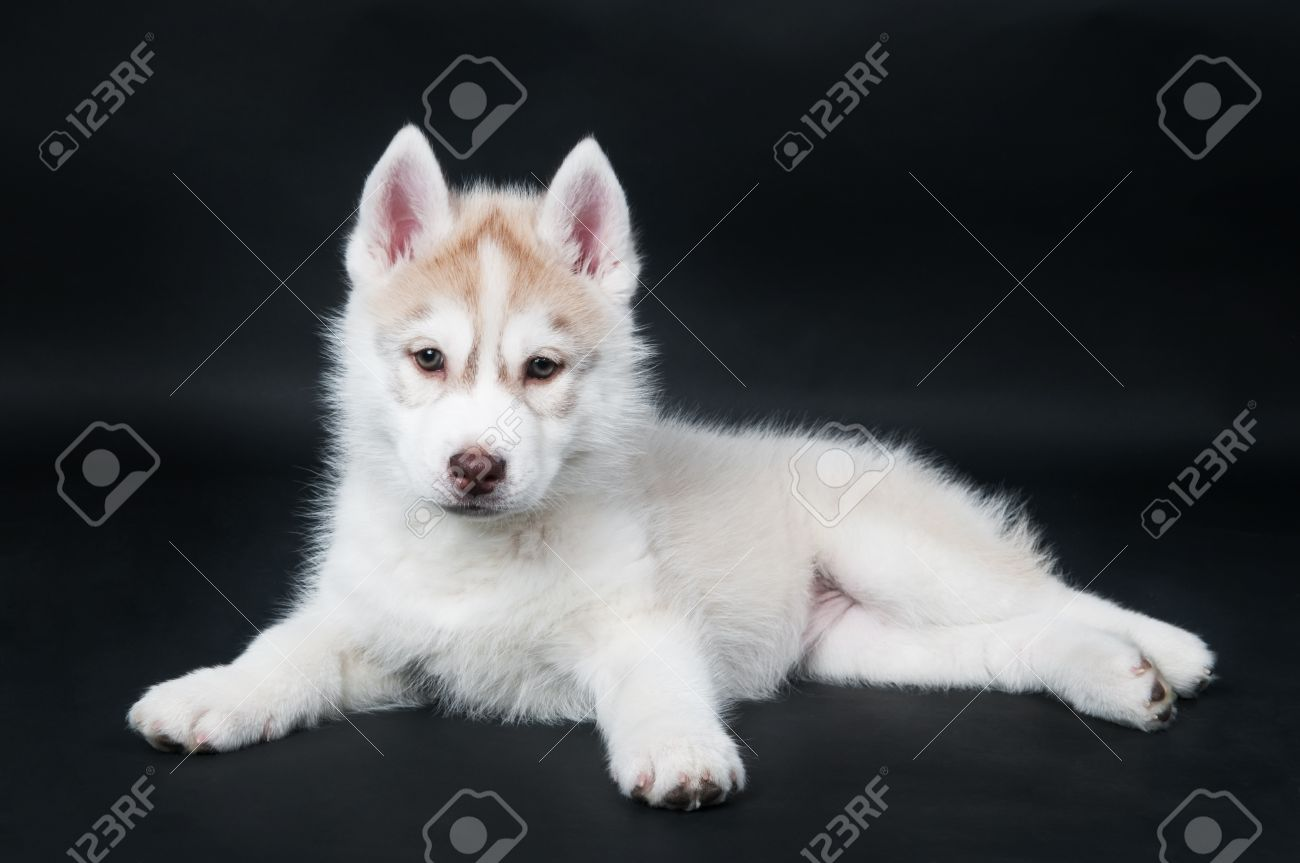 Portrait Of Little Cute White Brown Puppy Of Siberian Husky Dog