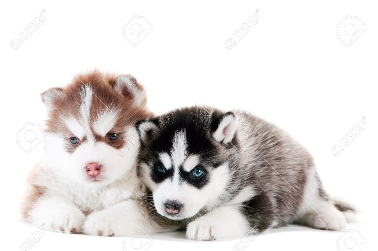 Popular Puppy Blue Eye Adorable Dog - 9369071-two-little-cute-puppy-of-siberian-husky-dog-with-blue-eyes-isolated  Picture_598687  .jpg