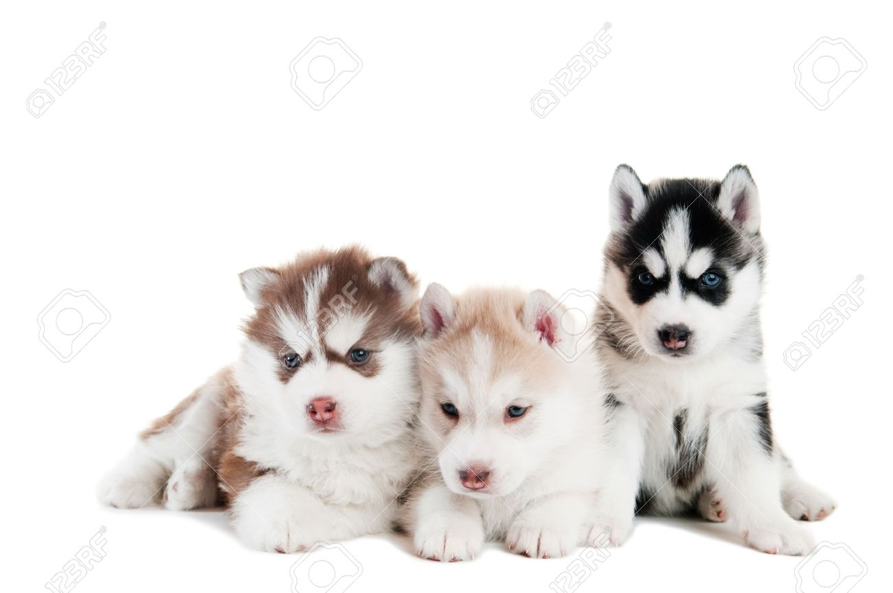Best Puppy Blue Eye Adorable Dog - 9368975-three-little-cute-puppy-of-siberian-husky-dog-with-blue-eyes-isolated  2018_75639  .jpg