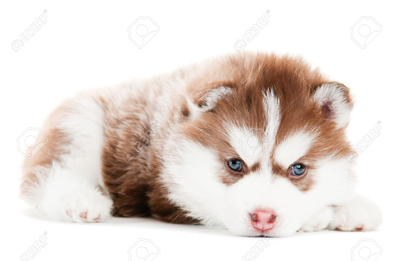 Popular Puppy Blue Eye Adorable Dog - 9369075-portrait-of-little-cute-brown-puppy-of-siberian-husky-dog-with-blue-eyes-isolated  Picture_598687  .jpg