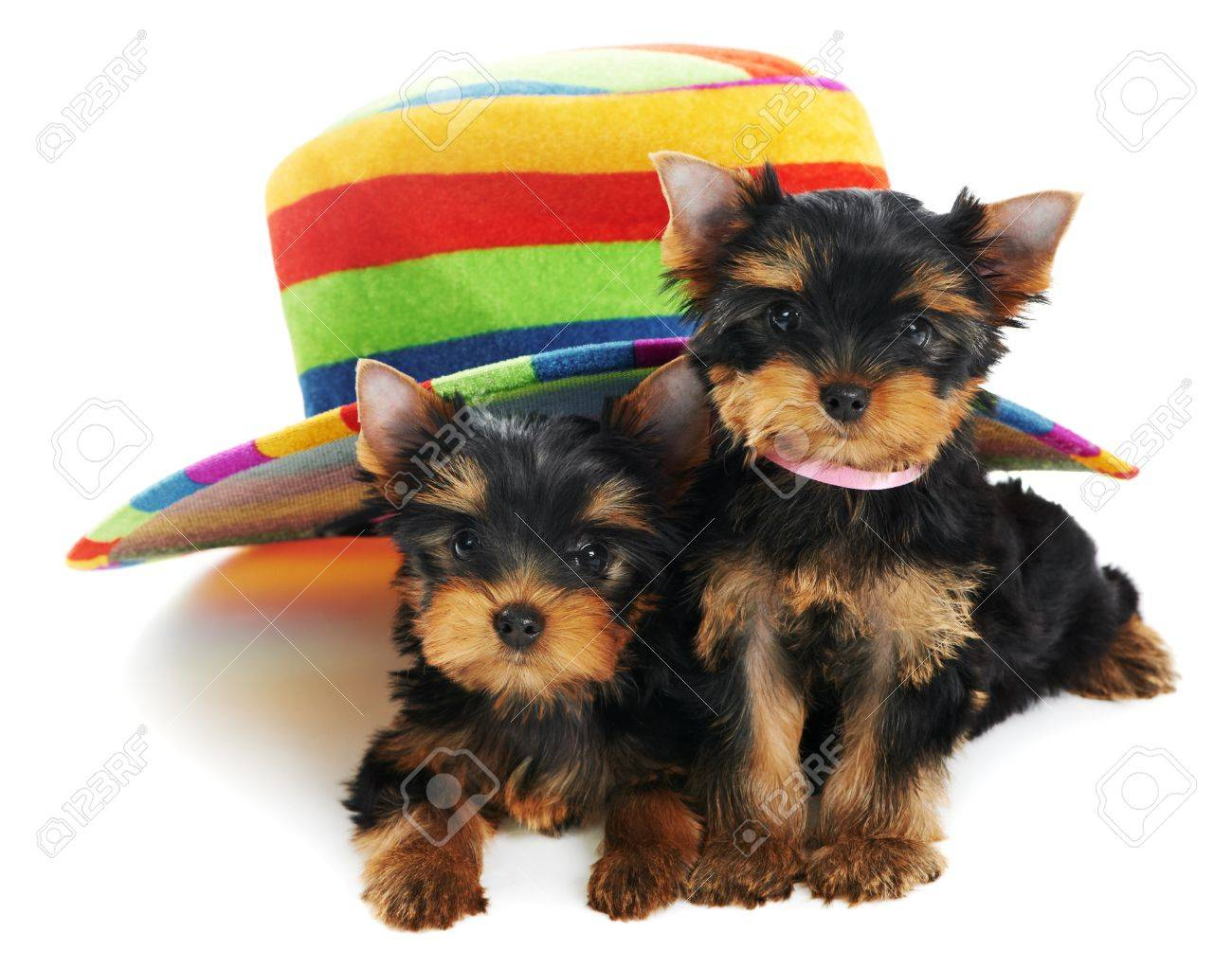 Two Yorkshire Terrier 3 month puppies dog Stock Photo - 9919888