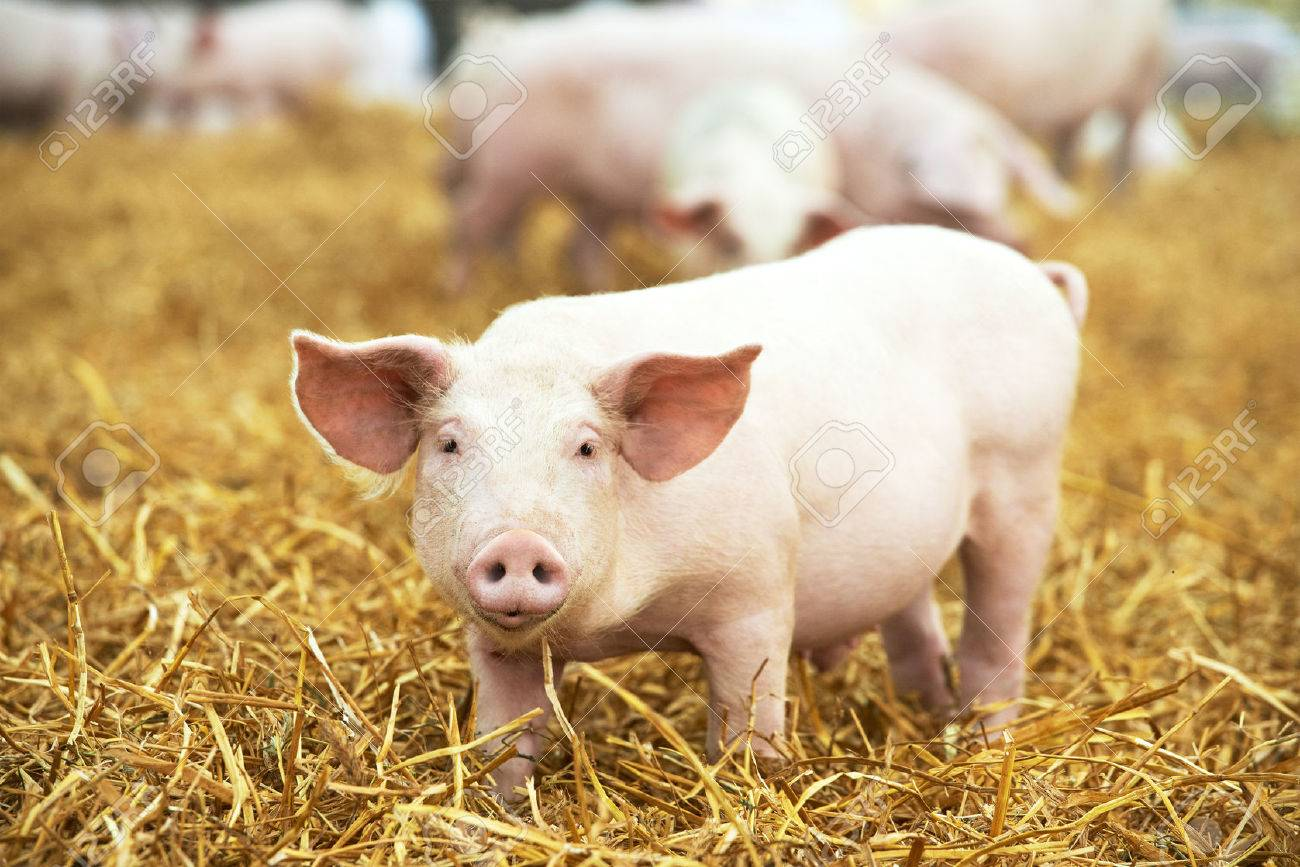 One young piglet on hay and straw at pig breeding farm - 50038110