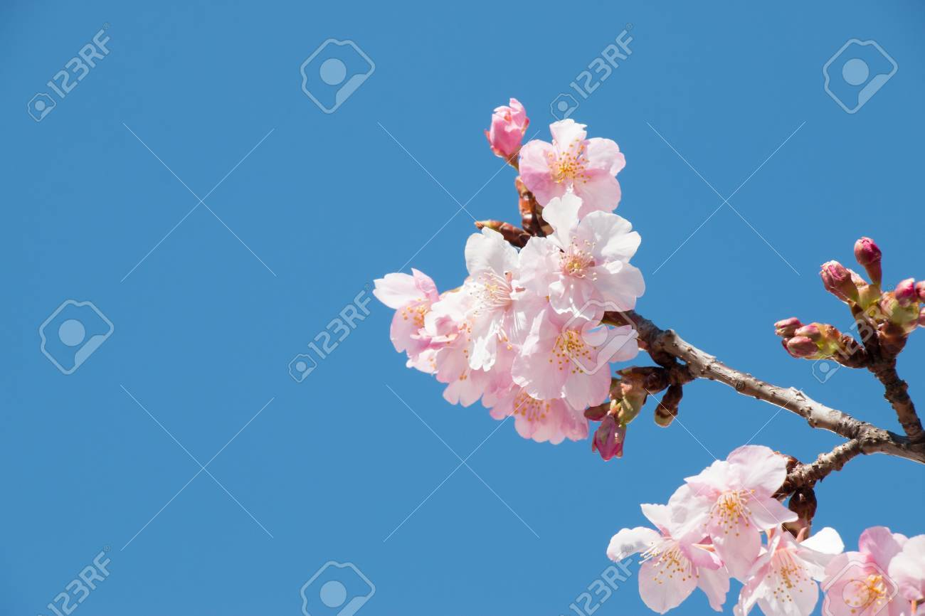 Pink sakura cherry blossom is the most beautiful flower in stock pink sakura cherry blossom is the most beautiful flower in japan stock photo izmirmasajfo