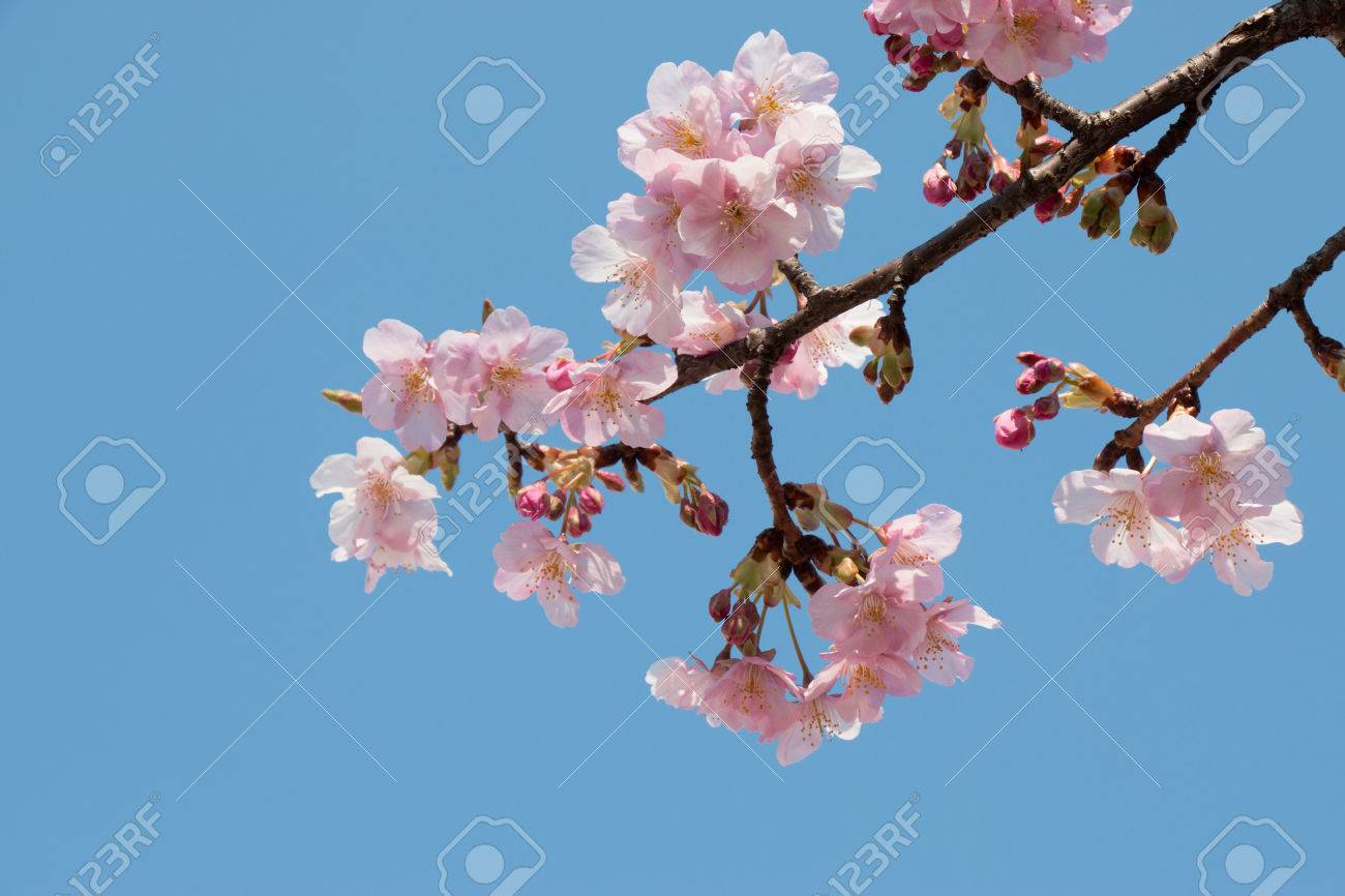 Pink sakura cherry blossom is the most beautiful flower in stock pink sakura cherry blossom is the most beautiful flower in japan stock photo izmirmasajfo Gallery