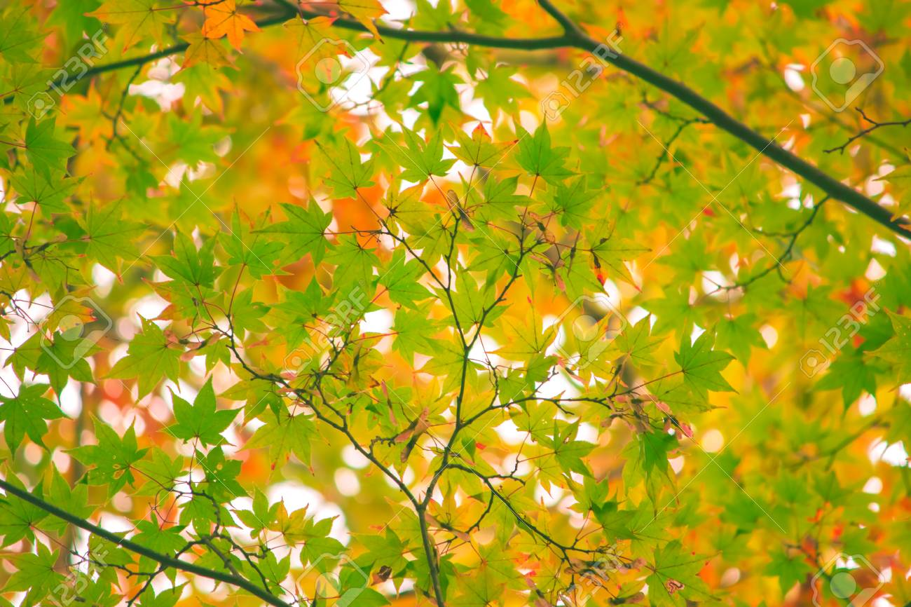 Maple Leaf, Tree Branch In Beautiful Autumn At Nikko With Colorful ...