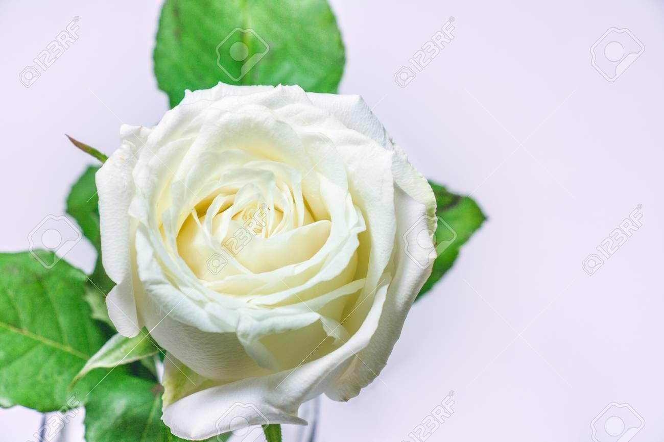 Flor De Rosa Blanca La Reina De La Flor Sobre Fondo Blanco El Día