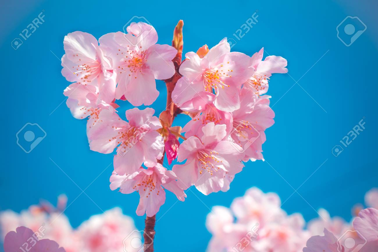 Heart of pink sakura the most beautiful flower in japan cherry heart of pink sakura the most beautiful flower in japan cherry blossom stock izmirmasajfo