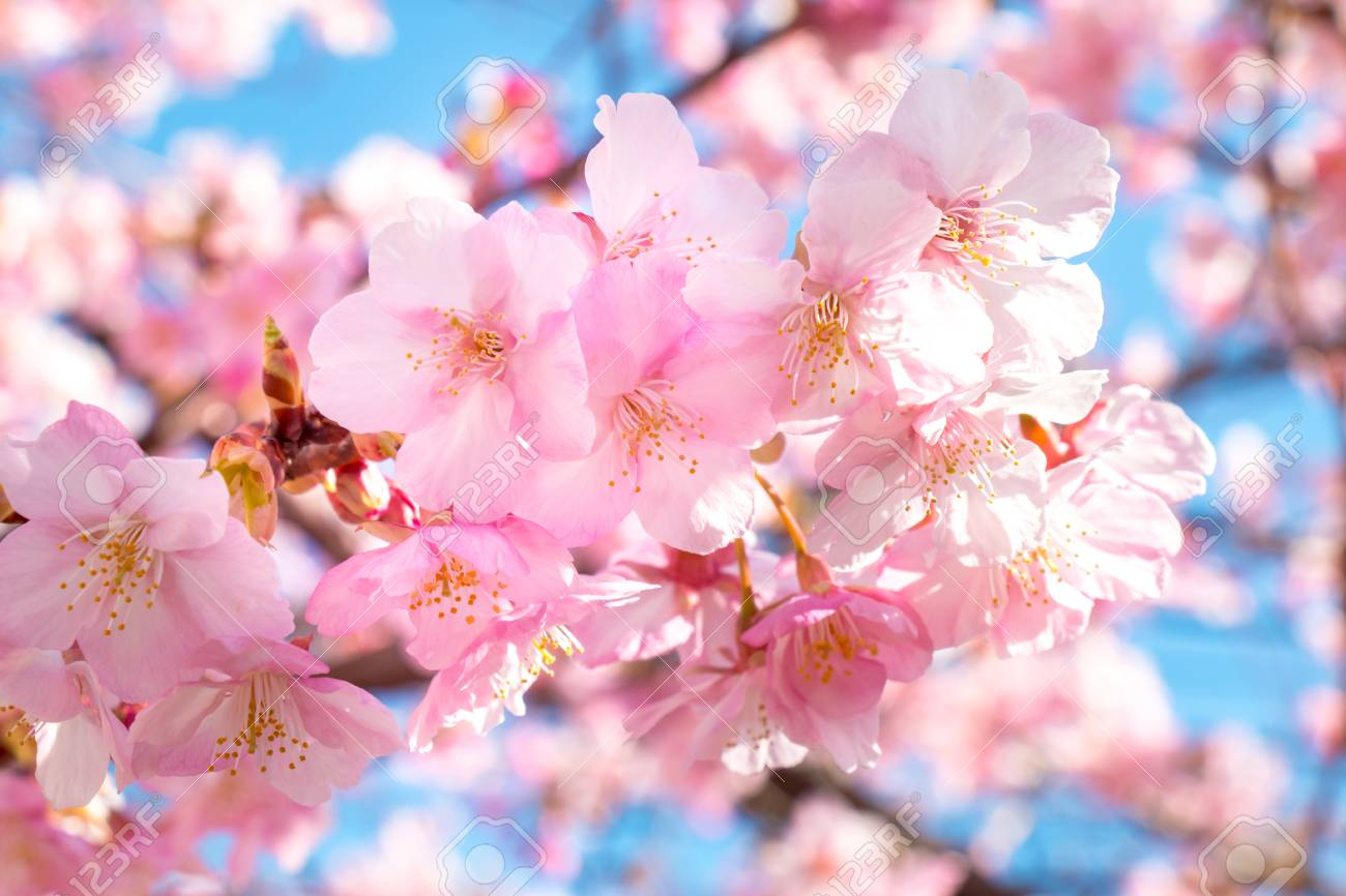 Japanese Cherry Blossom Many Picturesque Flowe Picturesboss