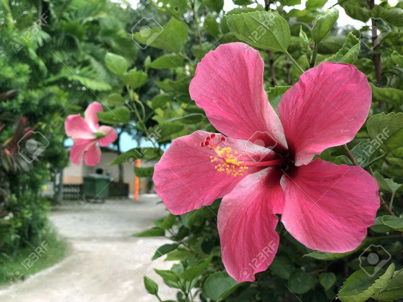 Red hibiscus flower malaysias national flower locally known red hibiscus flower malaysias national flower locally known as bunga raya stock photo izmirmasajfo
