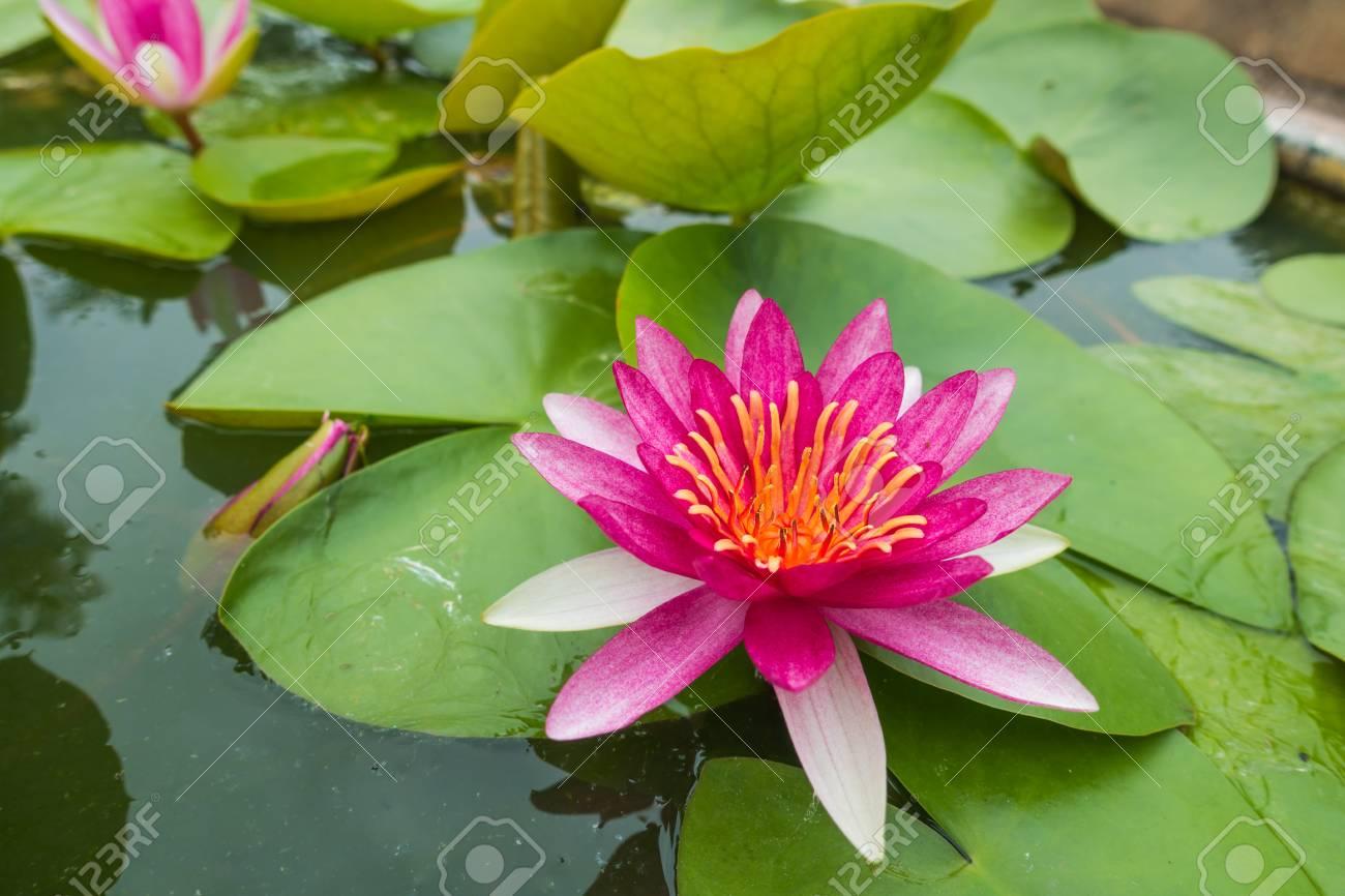 Top View Beautiful Pink Waterlily Or Lotus Flower In Pond Focus