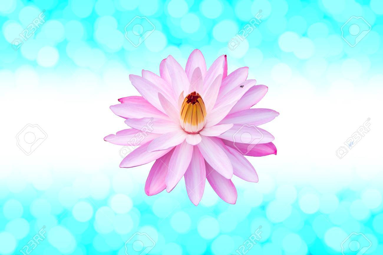 Pink Lotus Flower On A Green Background Bokeh Stock Photo Picture