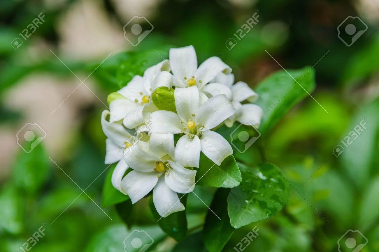 Cosmetic bark tree satin wood white flowers called orange cosmetic bark tree satin wood white flowers called orange jessamine stock photo mightylinksfo