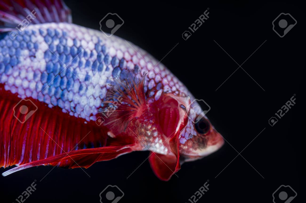 Fighting fish (Betta splendens) Fish with a beautiful array of..