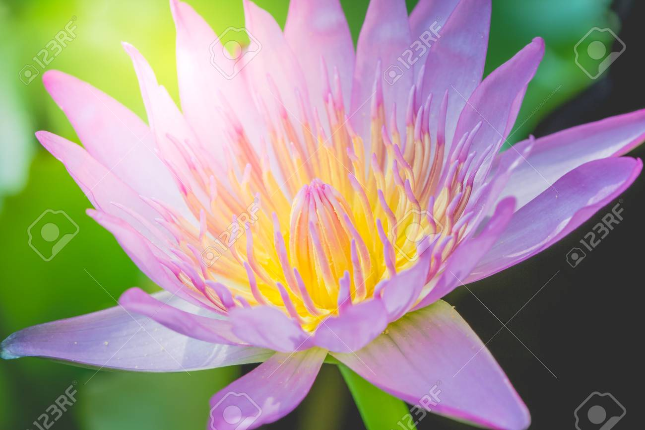 The Appearance Of A Purple Lotus Flower Is A Beautiful Symbol