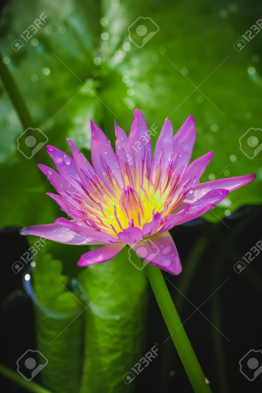 Purple lotus flower meaning gallery flower wallpaper hd lotus flower meaning buddhism image collections beautiful exotic lotus flower meaning buddhism choice image beautiful exotic mightylinksfo