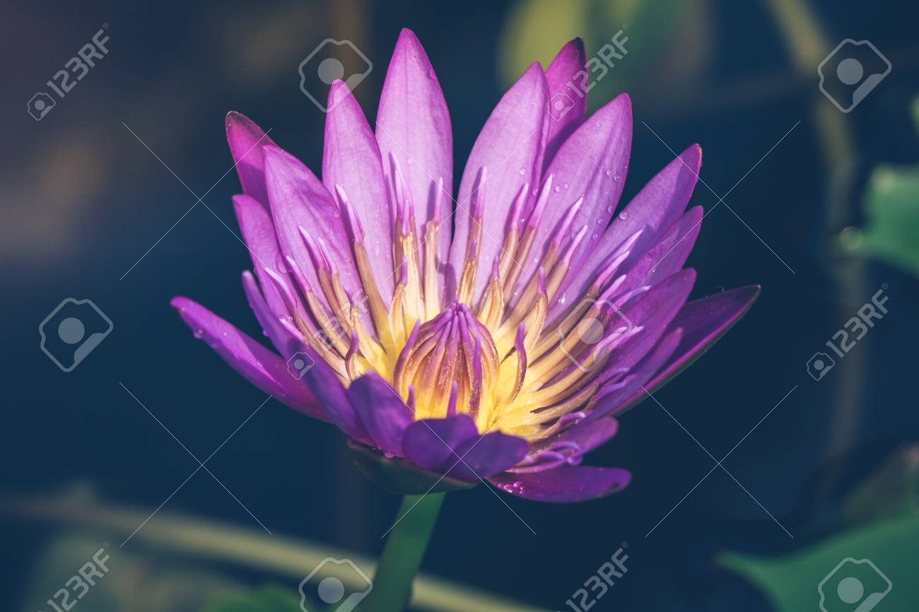 Purple lotus flower meaning images flower wallpaper hd purple lotus flower meaning images flower wallpaper hd purple lotus flower meaning image collections flower wallpaper mightylinksfo