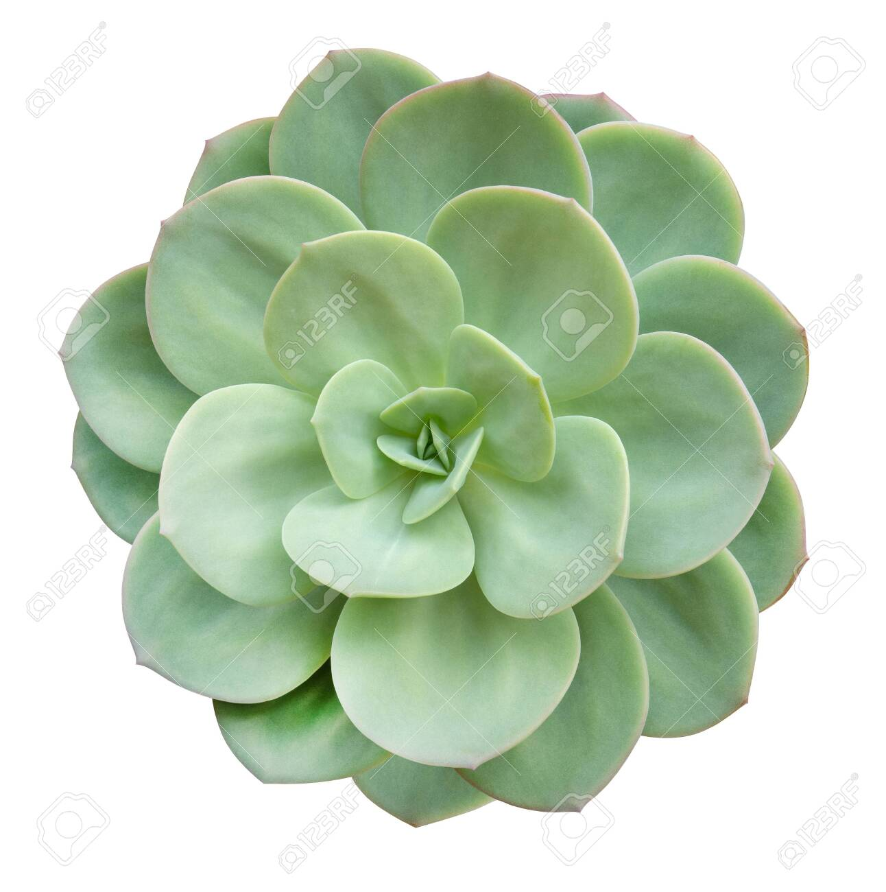 Green Succulent Cactus Flower Tropical Plant Top View Isolated Stock Photo Picture And Royalty Free Image Image 141773088