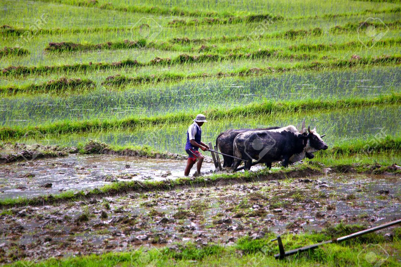farmer plowing with ox cart at farm in pokhara, nepal - 23485479