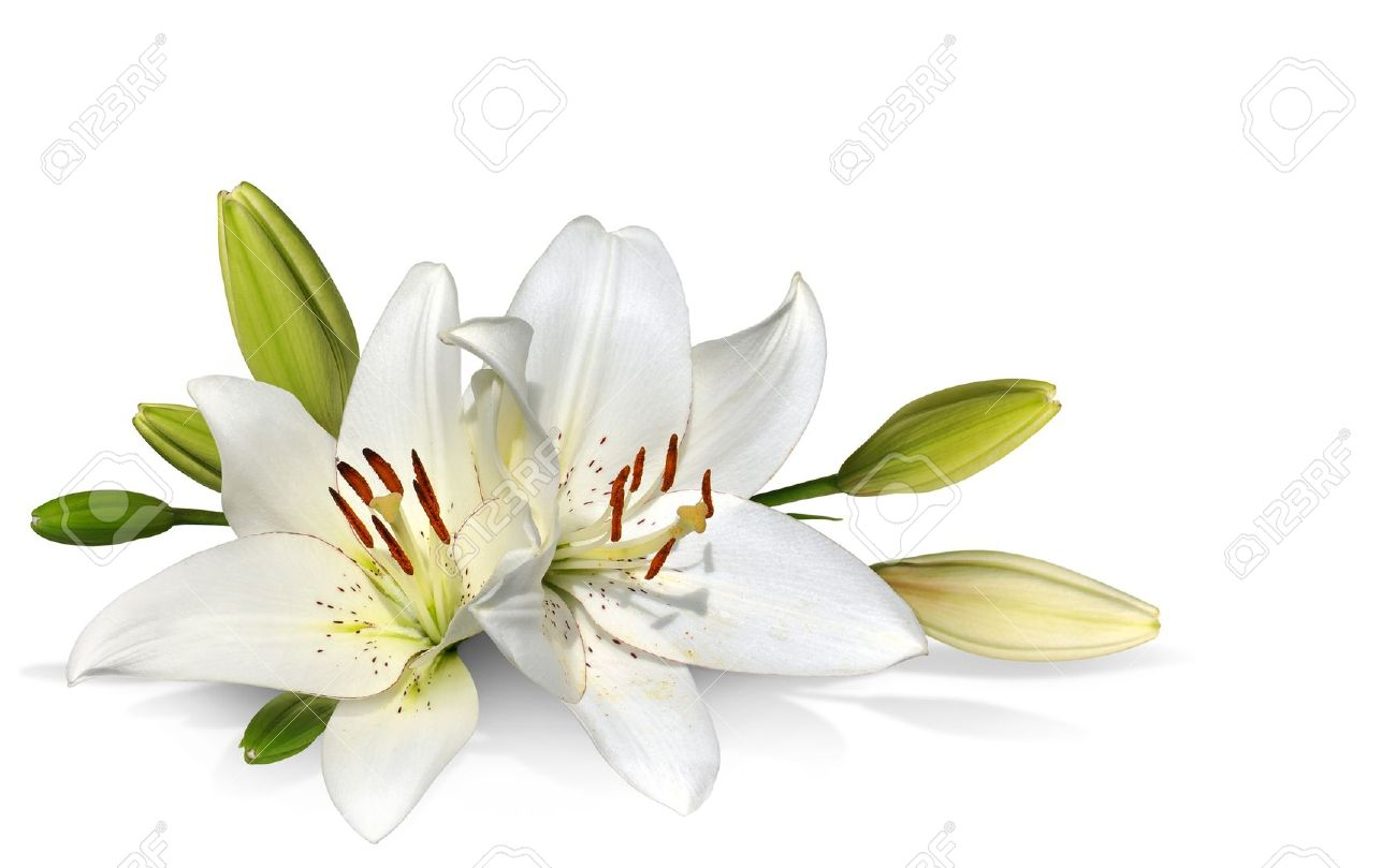 Easter lily flowers on white background stock photo picture and easter lily flowers on white background stock photo 9327850 izmirmasajfo Gallery