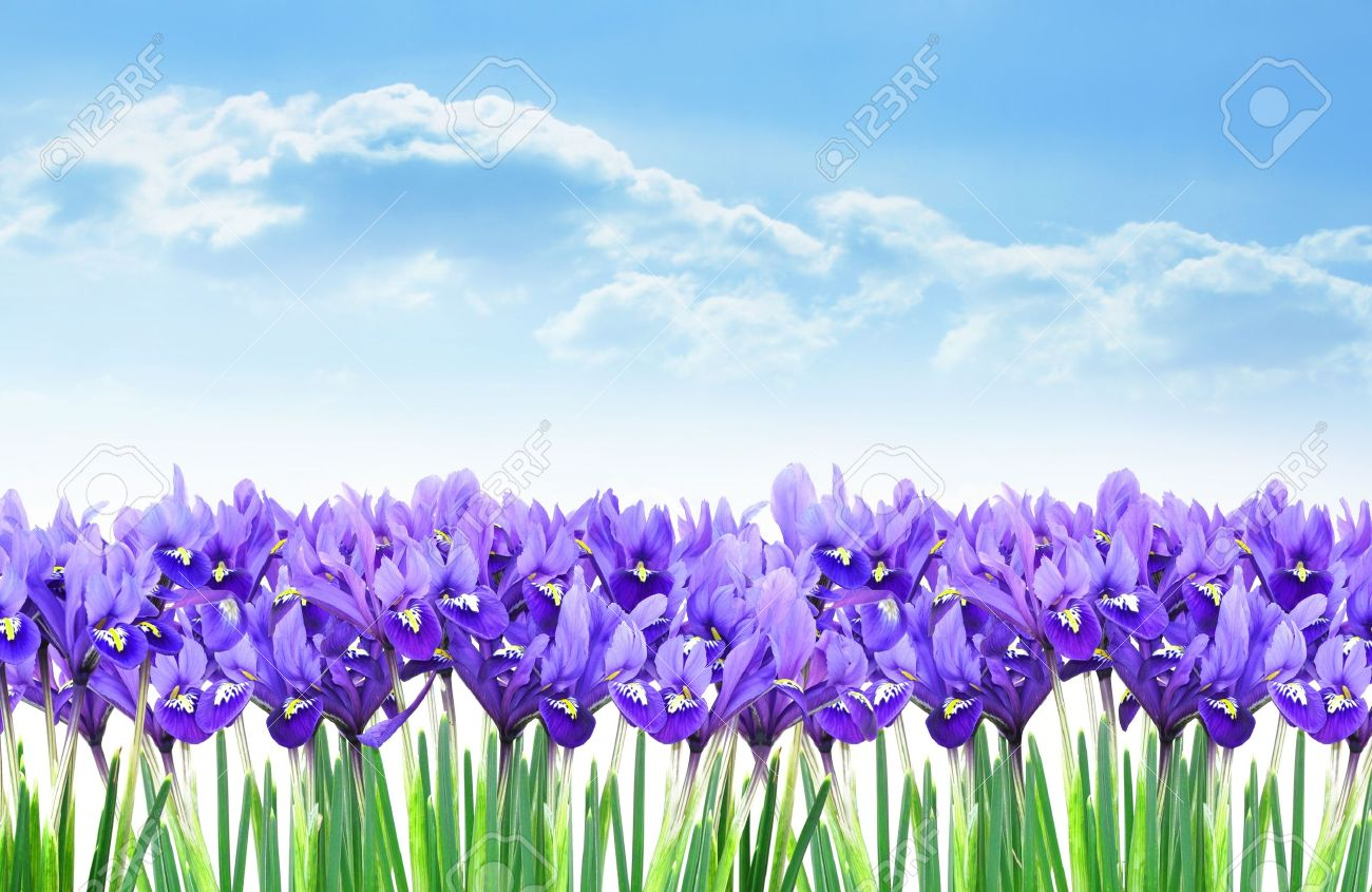 Dwarf Purple Iris Flower Border In Early Spring Stock Photo Picture