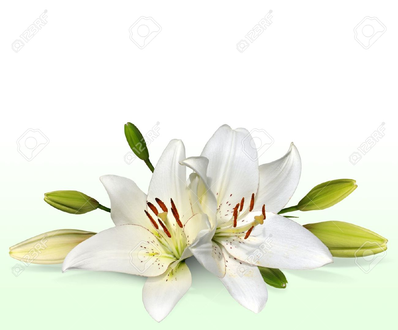 Easter Lily Flowers Also Known As November Lilies Stock Photo