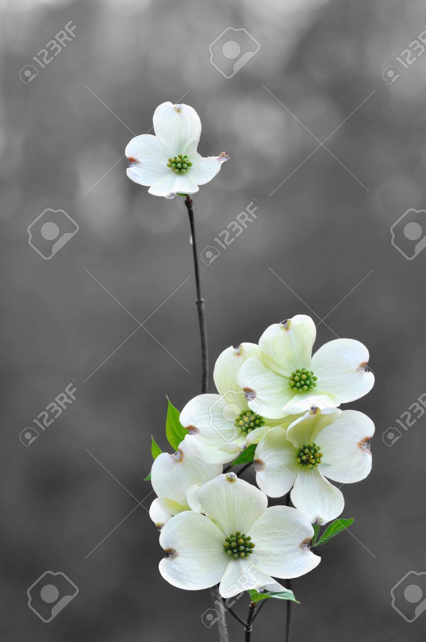 White dogwood flowers in spring Stock Photo - 13070013