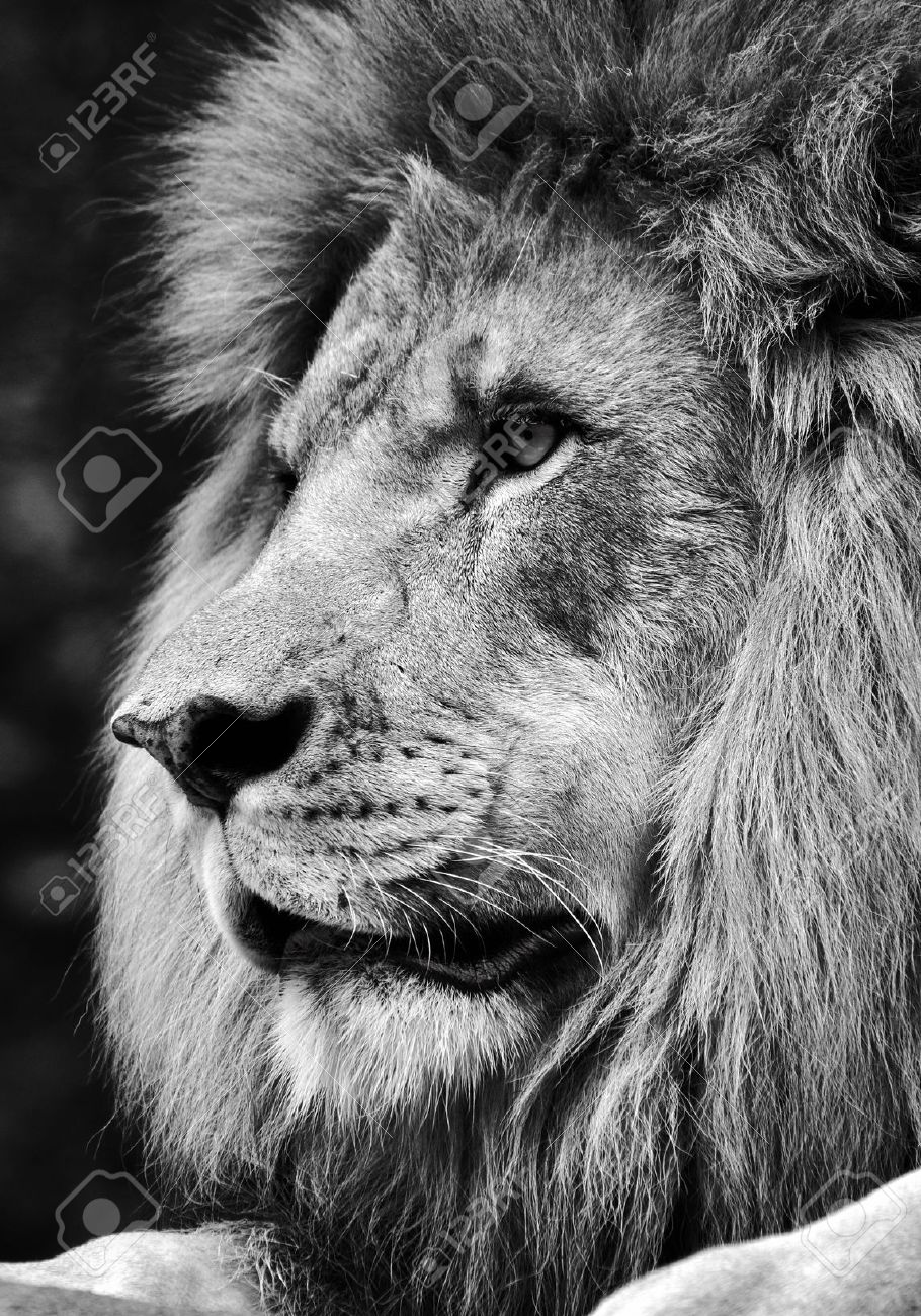High contrast black and white of a powerful male lion face stock photo 40937801