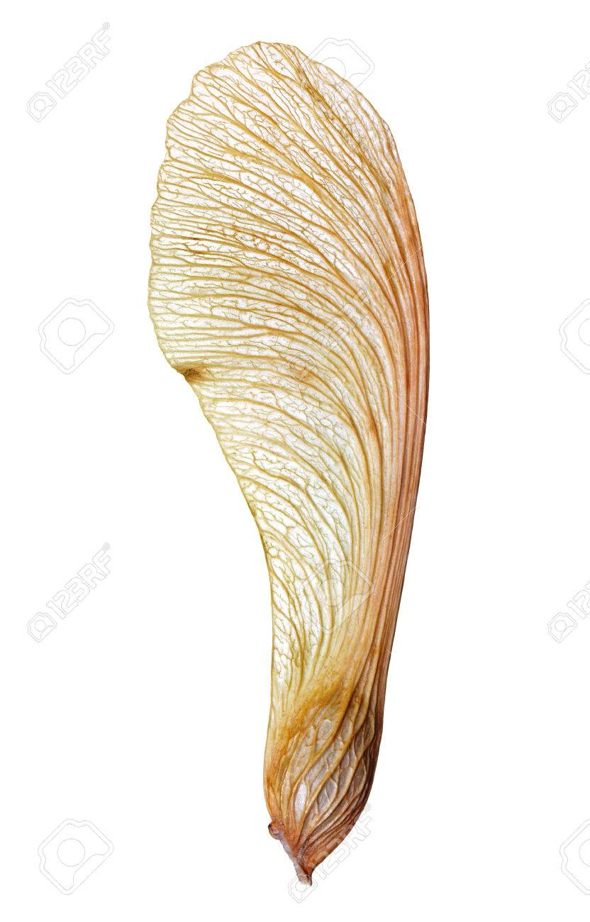 Macro detail of veiny wing-like structure of a maple seed isolated