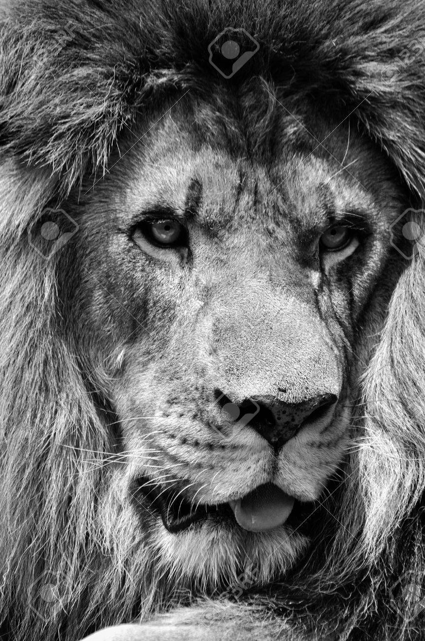 Powerful black and white male lion face closeup in high contrast stock photo 56750209