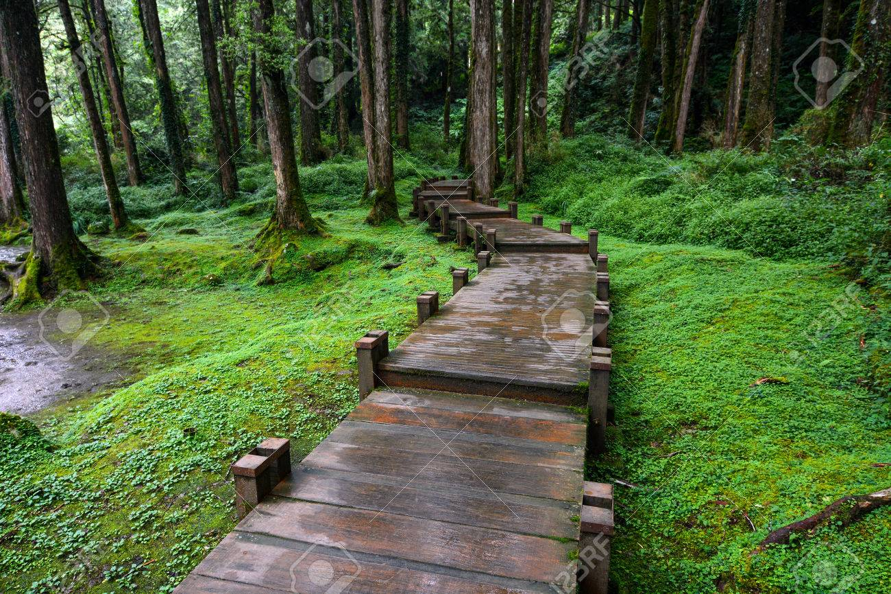 Boardwalk through peaceful mossy forest at Alishan National Scenic Area in Chiayi District, Taiwan - 64982366