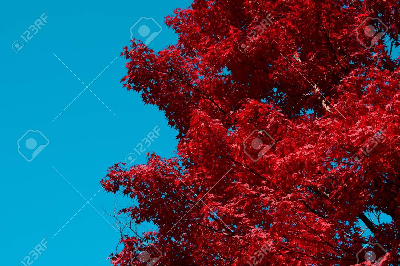 Acero Blu Giapponese priorità bassa rossa di caduta dell'albero di acero giapponese con lo  spazio della copia del cielo blu dalla parte di sinistra