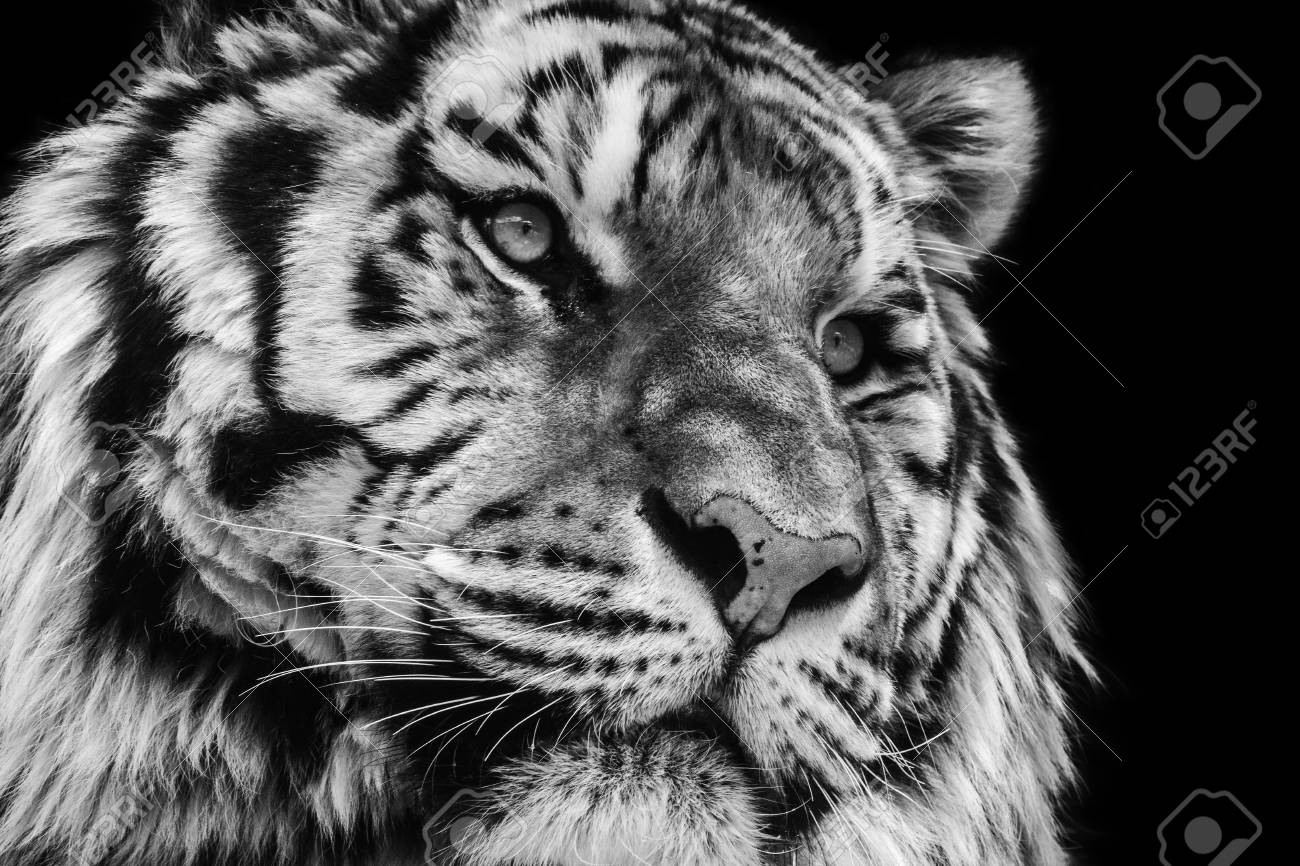 Powerful black and white high contrast animal portrait of a tiger