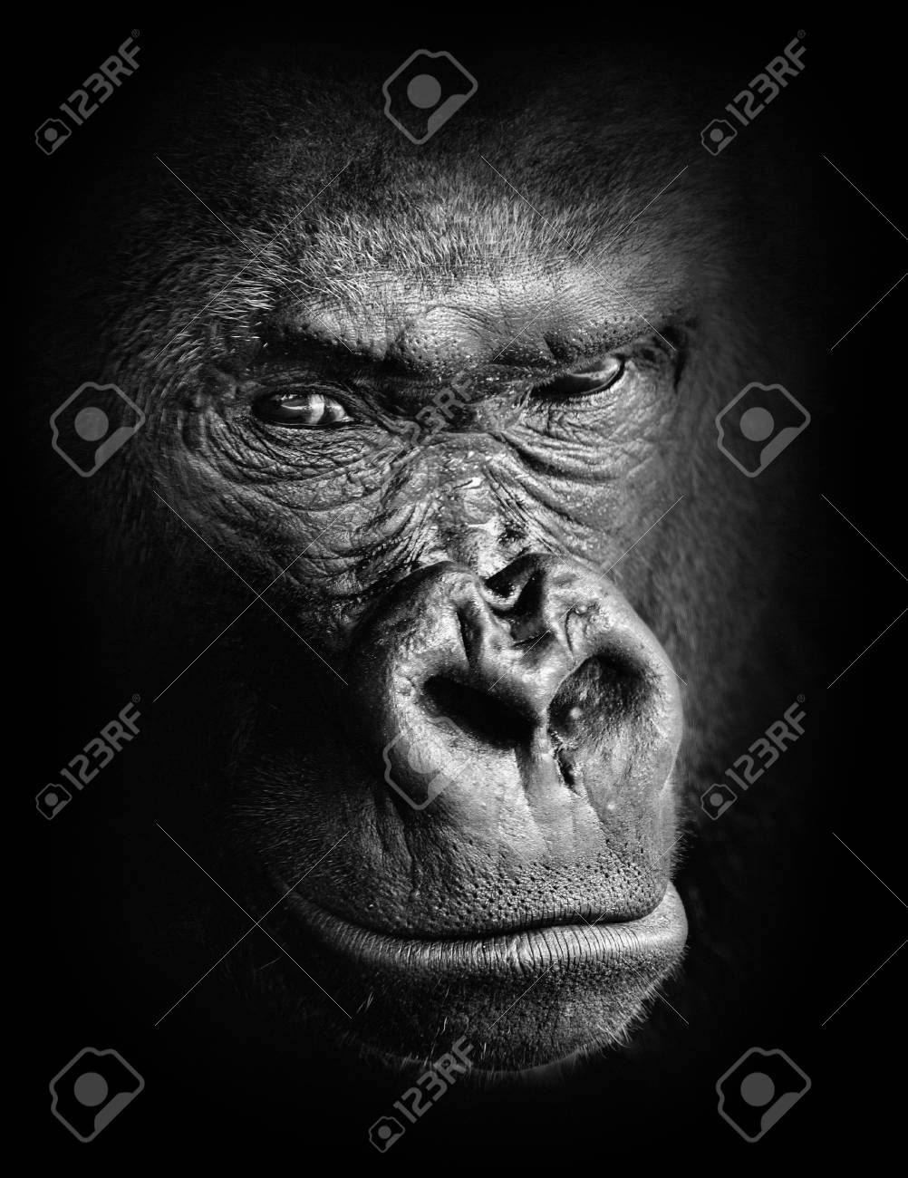 Black and white high contrast animal portrait of a pensive gorilla face isolated in shadows stock