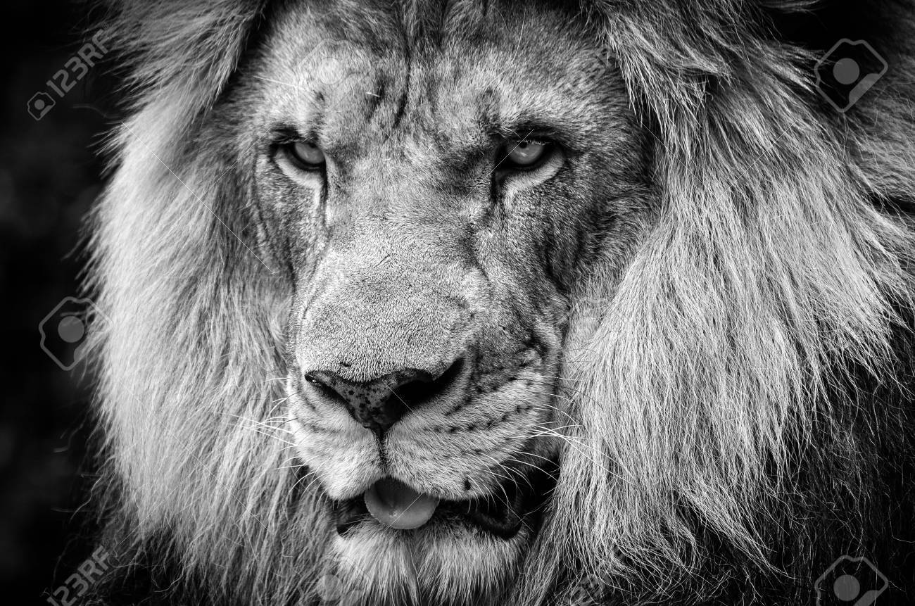 Ferocious stare of a powerful male african lion in black and white stock photo 80597732