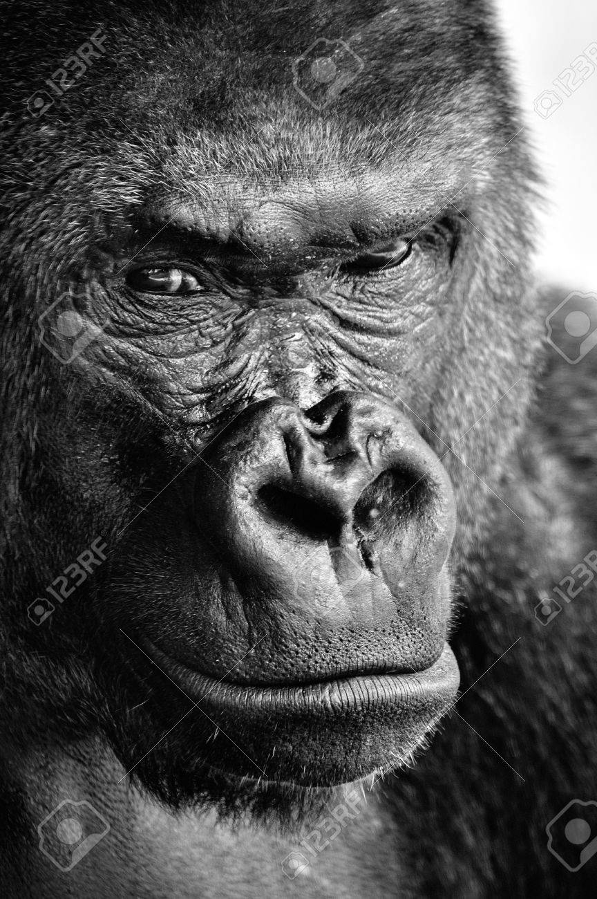 Black and white close up of a powerful gorilla face with a thoughtful stare stock